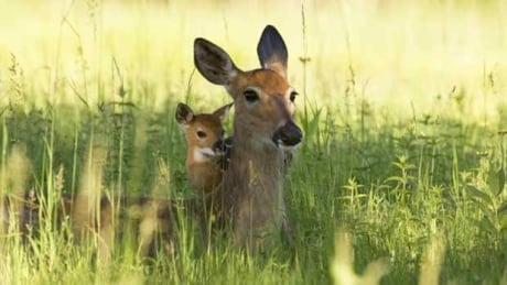 Wildlife centre pleads: don't kidnap 'abandoned' baby deer