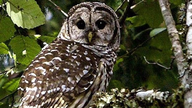 hi-bc-130127-barred-owl