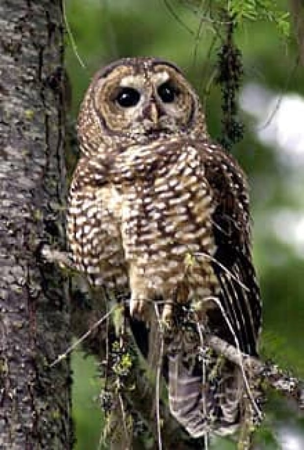 mi-bc-130130-cp-spotted-owl
