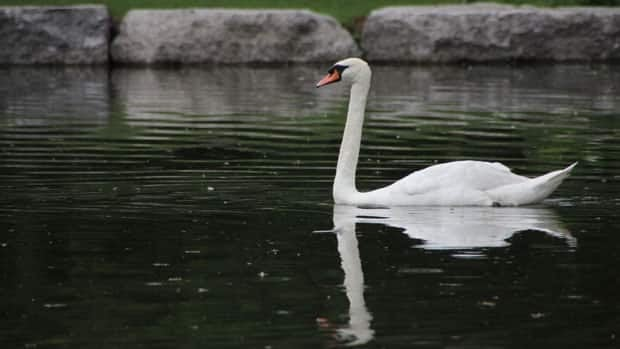 A Kitchener swan that almost drowned after being attacked by a rival now patrols the waters at Victoria Park Lake.