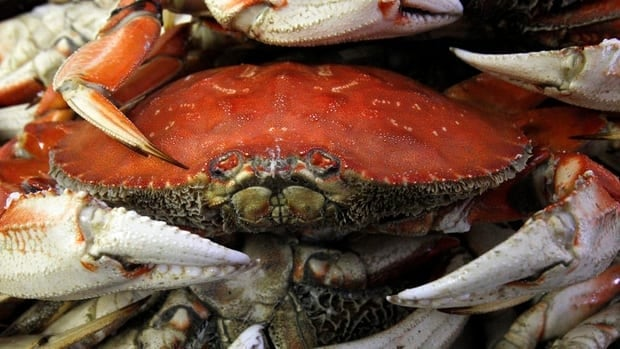 The Dungeness crab, named for the port of Dungeness in Washington state, is the most important species of crab harvested in British Columbia, according to Fisheries and Oceans Canada.