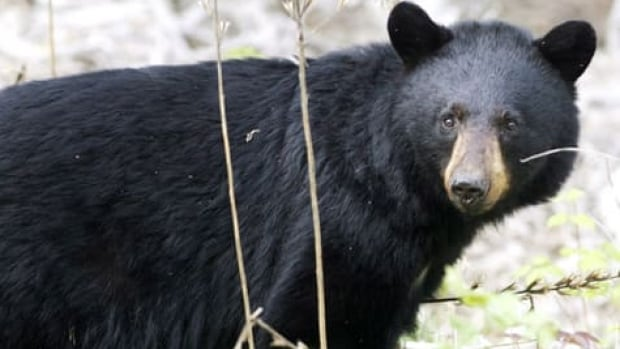 A juvenile black bear fell through a skylight window in Alaska, interrupting an infant's birthday party, eating all the cupcakes and then casually walking out of the home.
