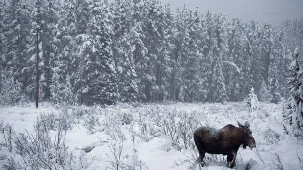 hi-bc-130419-moose-snow-alberta-cp03632406-8col
