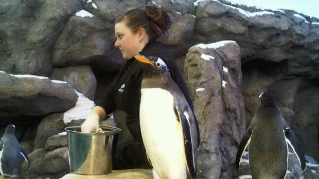 The Calgary Zoo's Penguin Plunge officially opened on Friday.