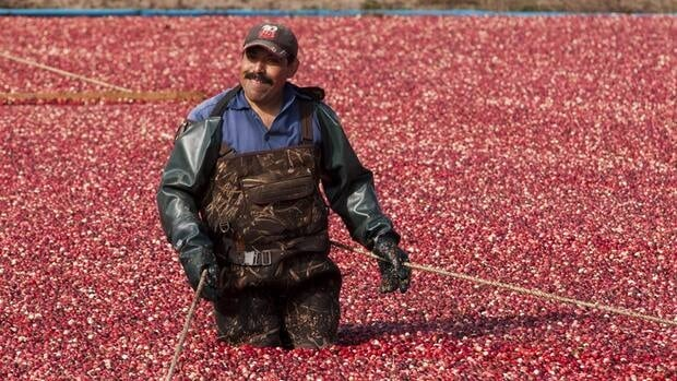 A worker makes his way through floating cranberries as the fruit is harvested in Saint-Louis-de-Blandford, Que.