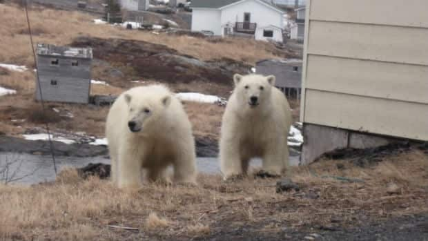 These polar bears wandered into St. Lunaire-Griquet on Wednesday morning.