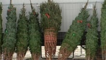 hi-xmas-tree-sales-wpg-1211