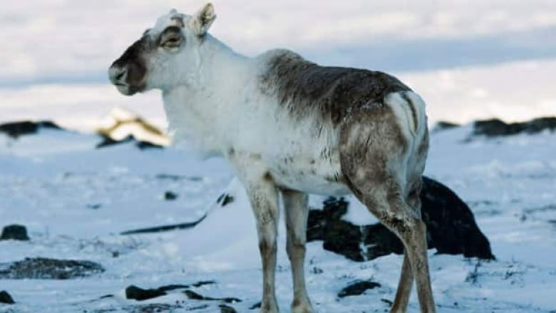 A Caribou Grazes Near Baker Lake Nunavut In 2009 Some Say The Hunting Market Which Has Now Spread To Internet Goes Against Inuit Traditions