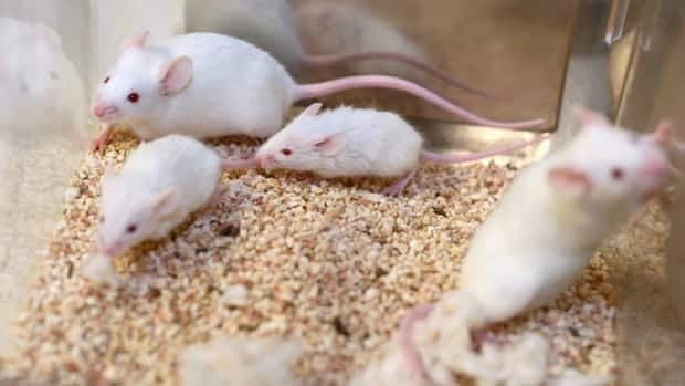 Researchers found that mice with two parents tended to perform better both socially and physically in their environment.