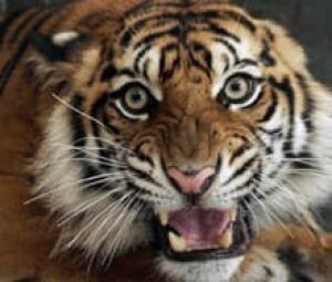 si-tiger