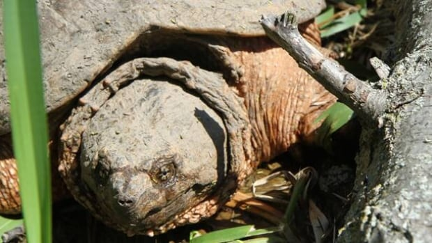 The snapping turtle is amongst the most common seen crossing Cootes Drive to reproduce.