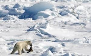 si-polar-bear-arctic-5168979