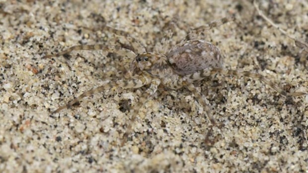 This dune spider is one of the insects that can only live in the sand dune ecosystem.