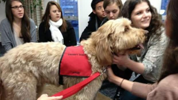 """A """"puppy room"""" at Dalhousie University has been lauded by students there as a great stress reliever. A University of Calgary student is now trying to bring the idea here."""