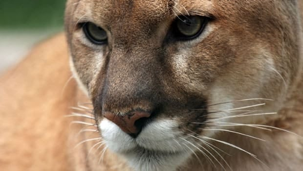 The Minister of Natural Resources said the MNR knows there are cougars in the province, but have not confirmed any official sightings.