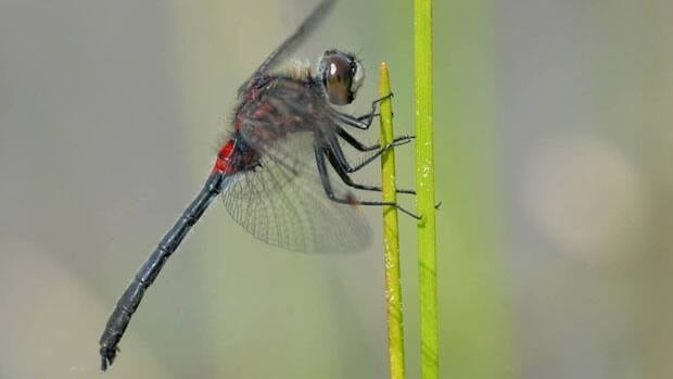 Yukon conservation biologist Cameron Eckert took this photo of a crimson-ringed whiteface dragonfly in Watson Lake. The species was not previously known to live in the territory.