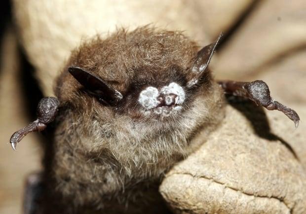 Bat white-nose syndrome