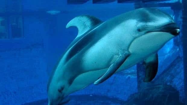Spinnaker the dolphin likely died from a stroke-like event, according to officials at the Vancouver Aquarium.