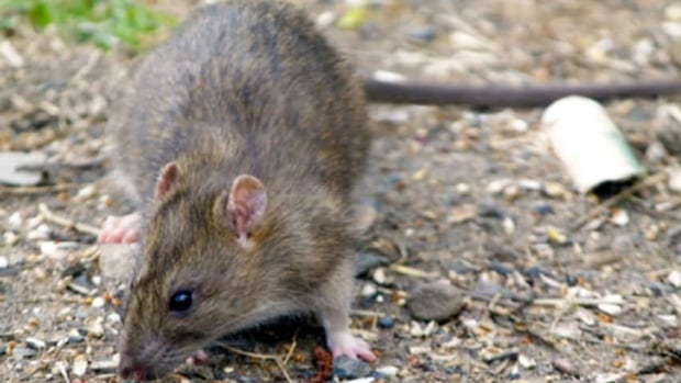 Medicine Hat is trying to eliminate rats at the landfill in order to keep the province's rat-free title.
