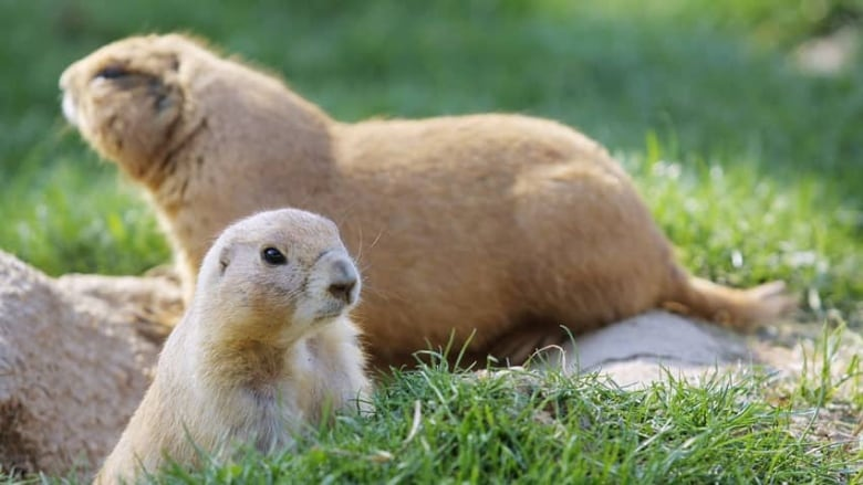 Prairie Dogs Language Decoded By Scientists Cbc News