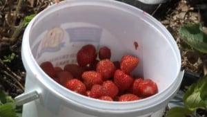 hi-strawberry-bucket-201107