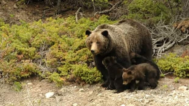 Parks Canada is considering bolstering its bear guardian team on Highway 93.