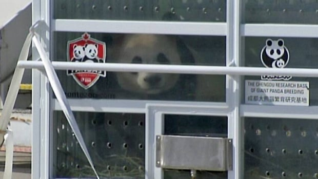 Giant pandas land in Toronto, get airport greeting from PM | CBC News