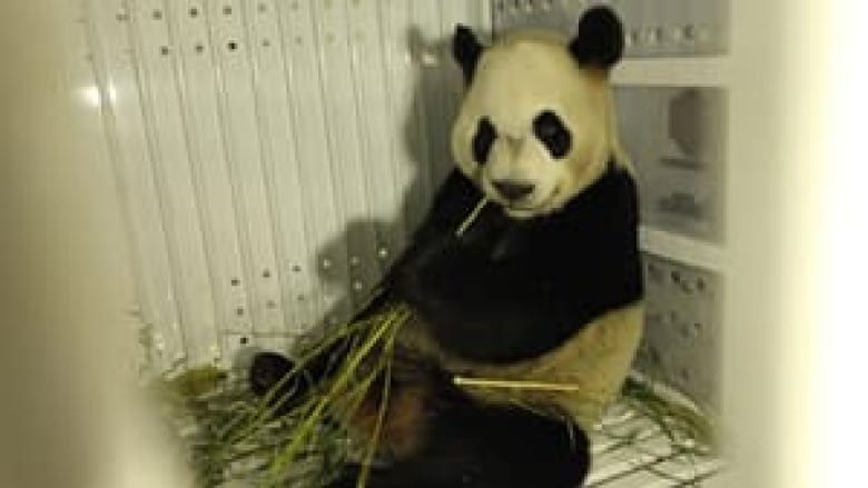 Giant pandas land in Toronto, get airport greeting from PM