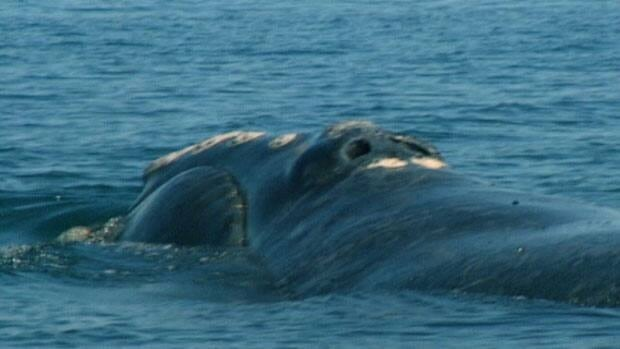 The federal government has proposed a mandatory 100-metre buffer zone between whales and whale watchers.