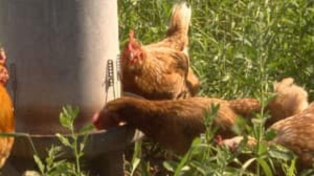 pe-mi-free-range-chickens