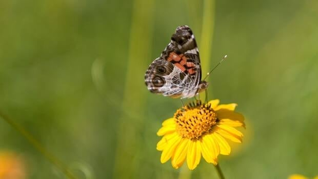 Butterflies will be out in abundance in Hamilton this season.