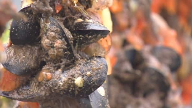 Invasive tunicates — also known as sea squirts — are slimy creatures that attach themselves to mussels and either rob the shellfish of nutrients and water, or literally rip the mussels off the rope they attach themselves to with their sheer weight.