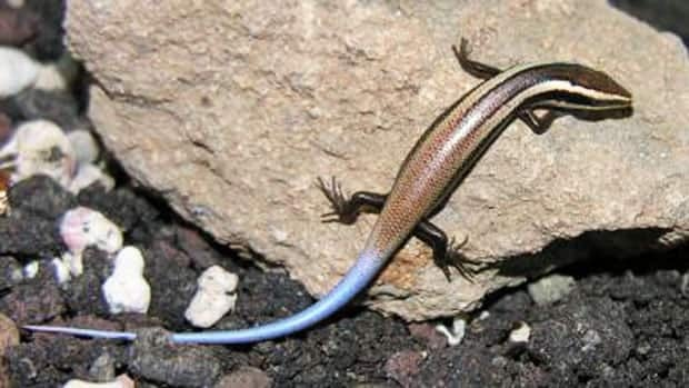 The Anguilla Bank skink is one of 24 new species of lizards identified on the Caribbean islands.