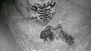 si-tiger-babies-300