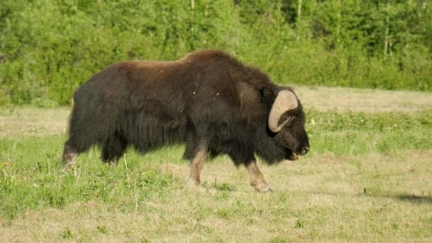 Staff at the Andrew Lake Lodge at the Northwest Territories-Alberta border were shocked to see a muskox near one of their cabins on June 10.
