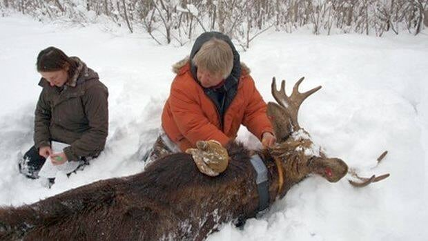 Student Amanda McGraw and biologist Ron Moen compile information from a tranquilized bull moose near Windy Lake in northeast Minnesota.