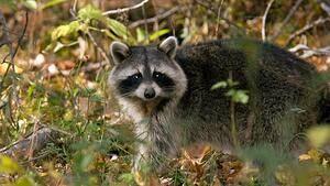 hi-wdr-raccoon-4col