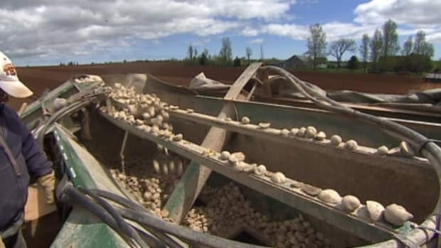 Farmers say delays in planting likely mean smaller potatoes at the end of the season.
