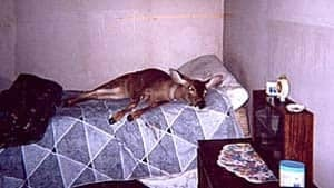 mi-bc-130115-bimbo-deer2