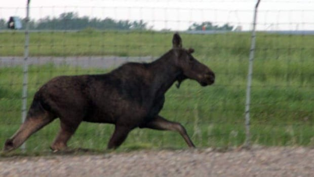 A moose crashed through a fence at the Regina airport last year and then proceeded to run through some residential neighbourhoods before being tranquilized and removed. Urban incursions by moose have been on the rise over the past several decades.