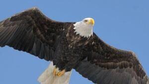 mi-istock-bald-eagle-