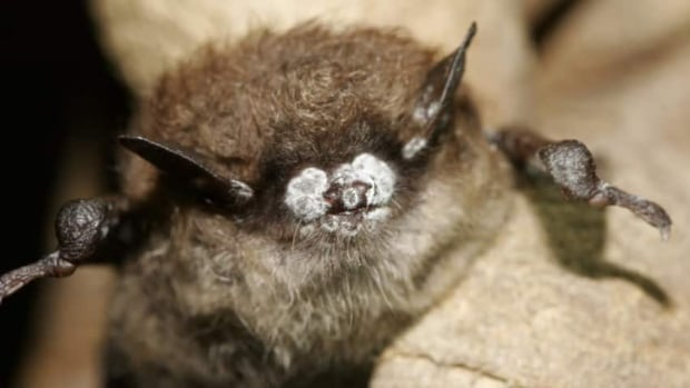 White-nose syndrome was first discovered in New York state in 2006. It quickly spread across North America.