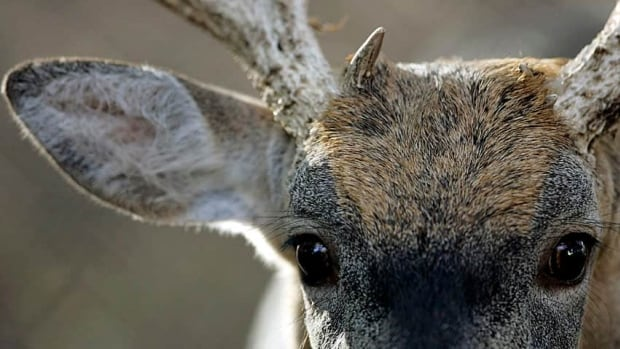 Drivers are told to brake, not swerve, to avoid a collision with deer.