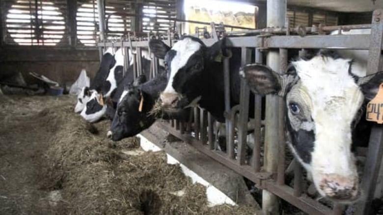 hi-dairy-cows-cp-01016518-852-8col