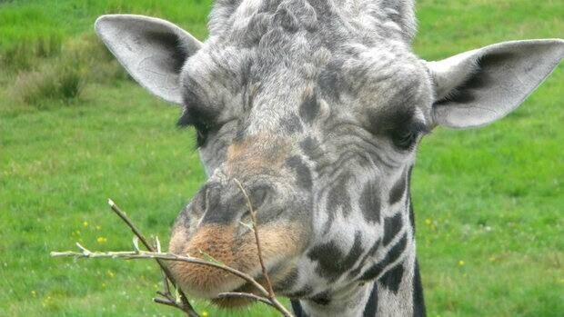 Zoo officials say Jafari was healthy before his death.