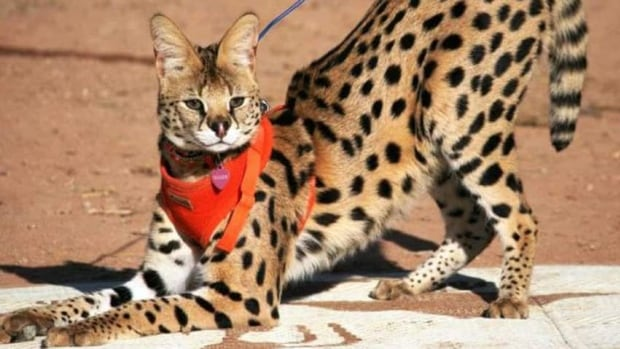 Can You Own A Savannah Cat In Canada