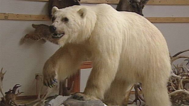 This stuffed grizzly-polar bear hybrid was found near Sachs Harbour, N.W.T.