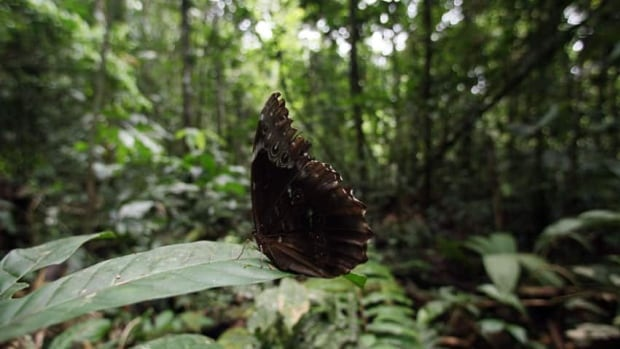A butterfly perches on a leaf at the Yasuni National Park in the western Amazon region in Ecuador. Ecuador's President Rafael Correa has abandoned a unique plan to persuade rich countries to pay Ecuador not to drill for oil in the pristine Yasuni rainforest preserve.