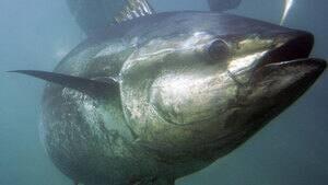 pe-hi-tuna-underwater-4col