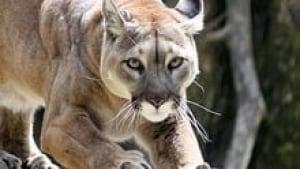 hi-bc-120912-cougar-3col